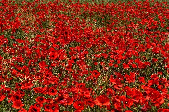 Poppies, Red, Flowers, Field, Meadow, Flower Meadow