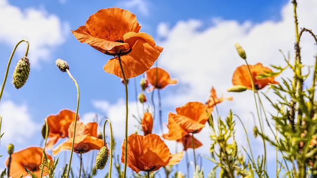 Poppies, Meadow, Summer, Nature, Red, Clouds, Flower