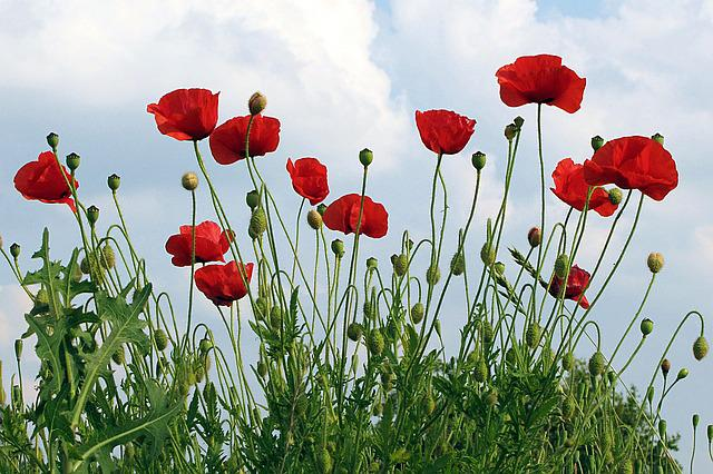 Poppies, Klatschmohn, Papaver Rhoeas, Flower, Summer