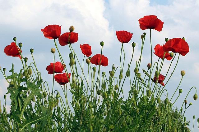 Poppies, Klatschmohn, Papaver Rhoeas, Flower, Summer