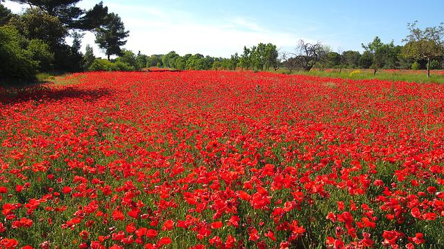 Poppies, Nature, Provence