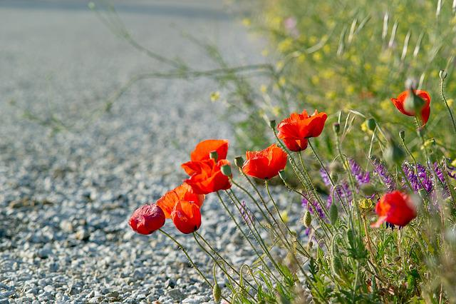 Poppies, Red Flowers, Road, Summer, Blossom, Day