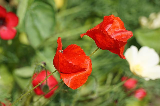 Poppies, Flowers, Flora, Red, Flowering, Summer, Botany