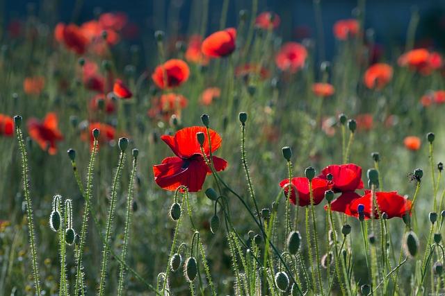 Poppies, Flowers, Nature, Summer, Netherlands