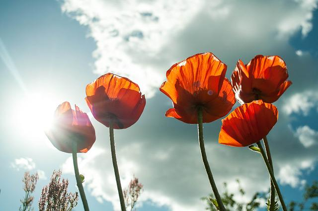 Poppies, Flowers, Sunlight, Opium Poppies, Bloom