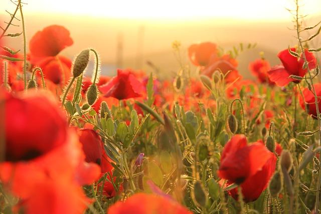 Poppies, Sunset, Field, Horizon