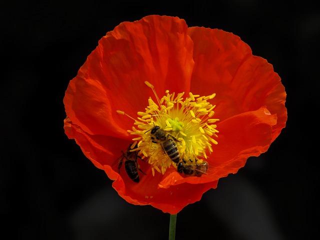 Flower, Poppy, Nature, Animal, Bee, Wing, Nectar