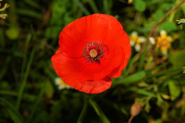 Blossom, Bloom, Poppy Flower, Red, Klatschmohn, Poppy