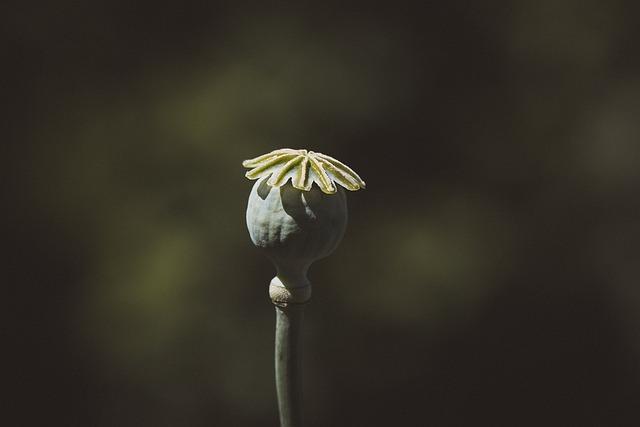 Poppy, Poppy Capsule, Capsule, Flower, Boll