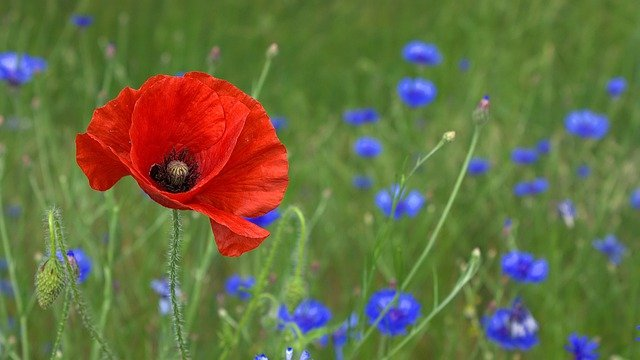 Poppy, Blossom, Bloom, Nature, Field, Flowers