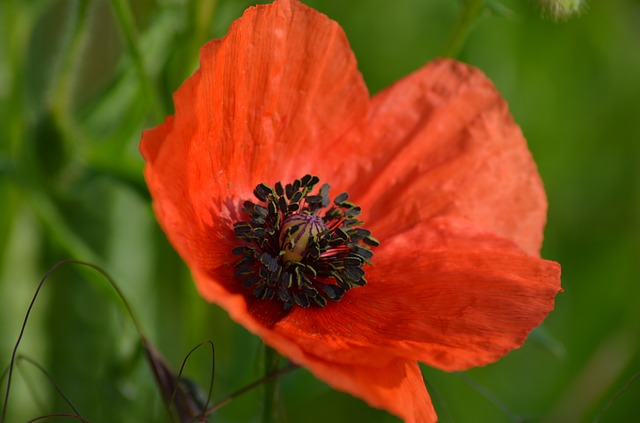 Poppy, Field Of Poppies, France, Nature, Flowers, Field