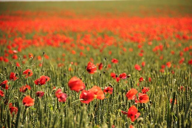 Field, Poppy, Corn Poppy, Flowers, Nature, Field Poppy