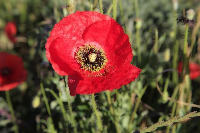 Poppy, Flower, Red, Field Of Poppies, Fleurs Des Champs