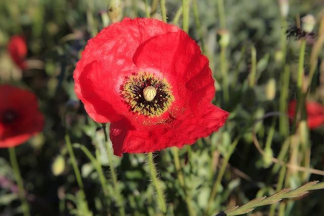 Poppy, Flower, Red, Field Of Poppies, Fleurs Des Champs