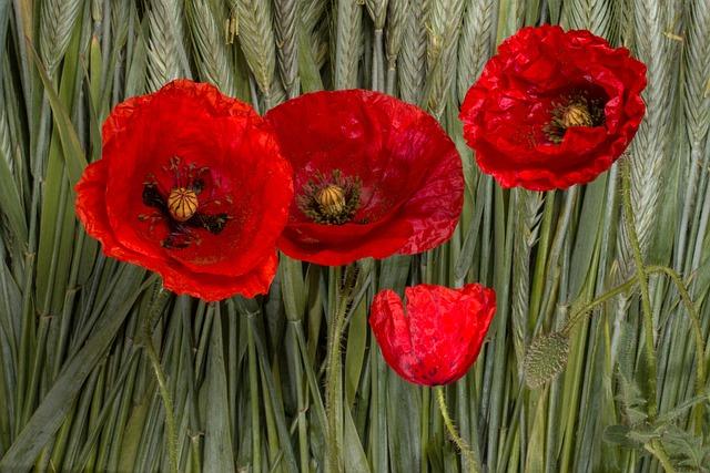 Poppy, Klatschmohn, Cereals, Poppy Flower