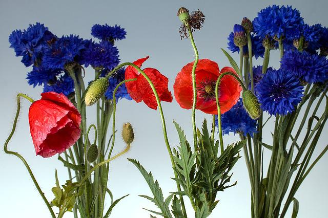 Klatschmohn, Poppy, Poppy Flower, Cornflowers