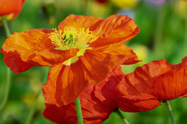Poppy, Flower, Klatschmohn, Bloom, Poppy Flower