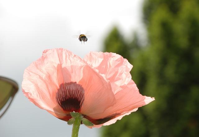 Poppy Flower, Hummel, Departure Rosamohn