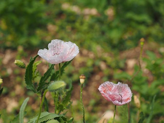 Poppy Flower, Pink, Light Pink, Bleached, Flowers