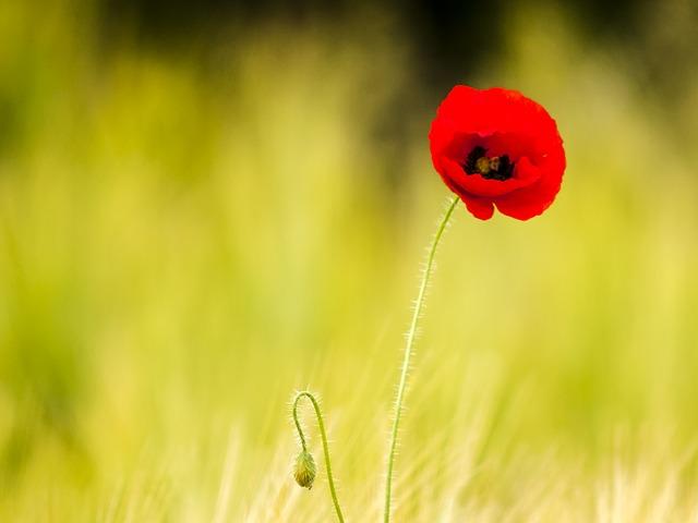 Poppy, Flower, Nature, Plant