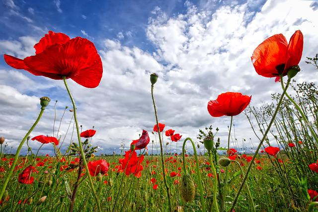 Poppy, Sky, Flower, Red, Nature, Red Poppy, Summer
