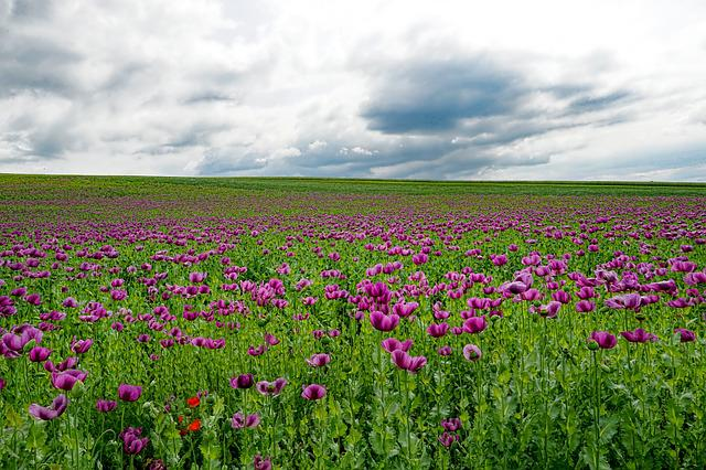 Field Of Poppies, Opium Poppy, Poppy Flower