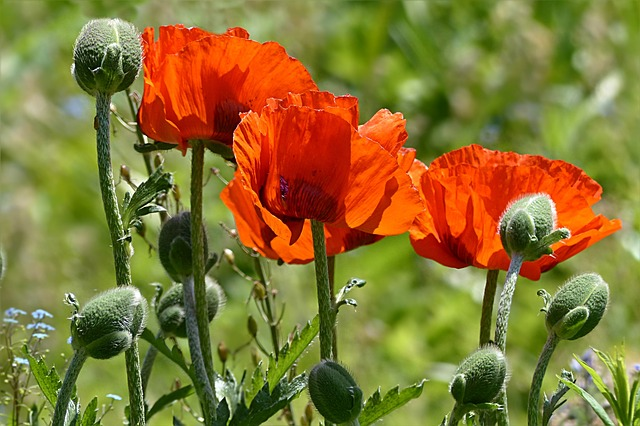 Plant, Flower, Poppy, Poppy Flower, Papaver Rhoeas, Red