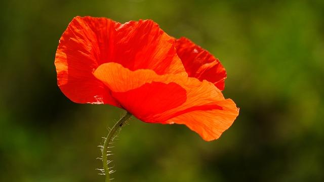 Poppy, Flower, Red