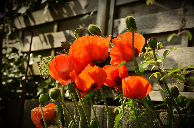 Poppy, Red Poppy, Klatschmohn, Poppy Flower, Flower