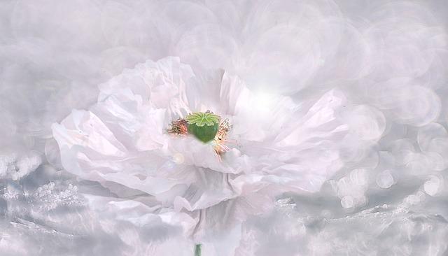 Poppy, White Poppy, Poppy Flower, Flower, Blossom