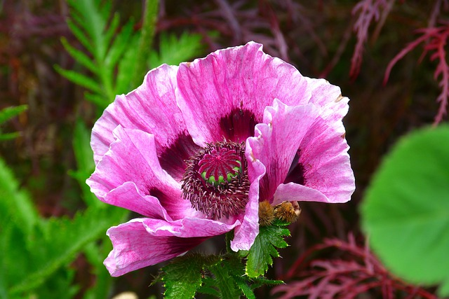 Poppy, Pink Poppy, Wildflowers, Blossom, Bloom, Flower