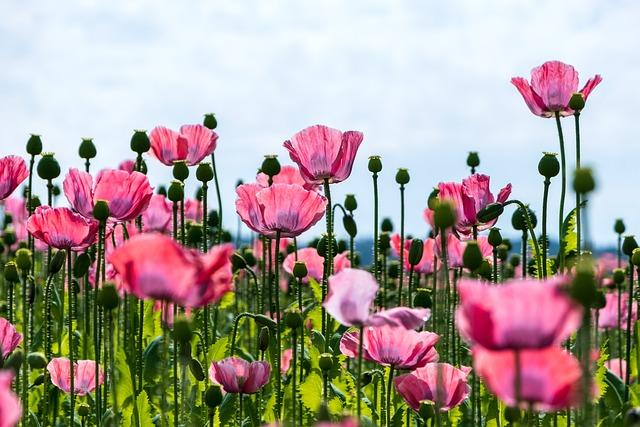 Poppy, Flowers, Pink Poppy, Pink Flowers, Blossom