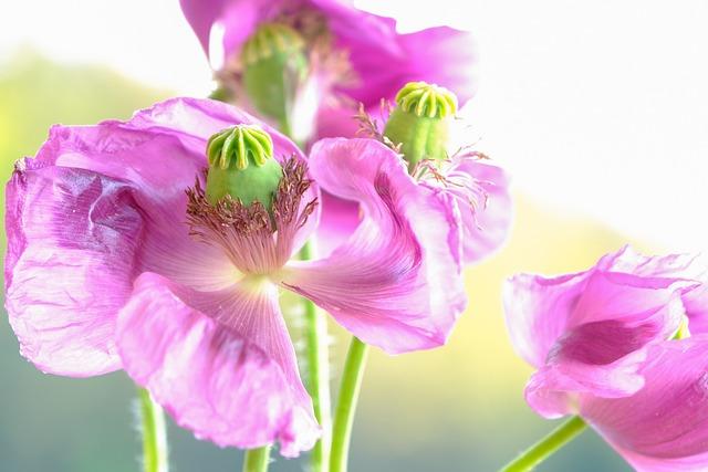 Poppy, Flowers, Plant, Petals, Pink, Purple, Corn Poppy