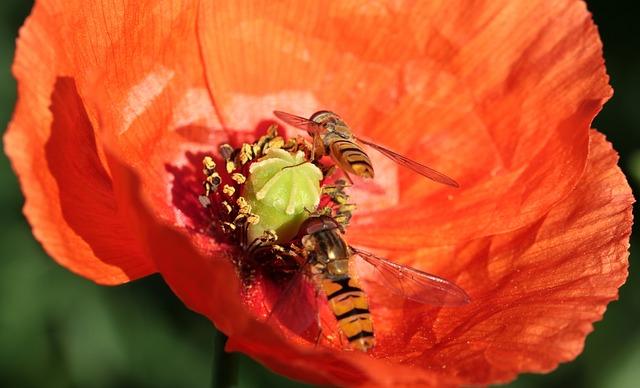 Poppy, Klatschmohn, Poppy Flower, Wasp, House Feldwespe
