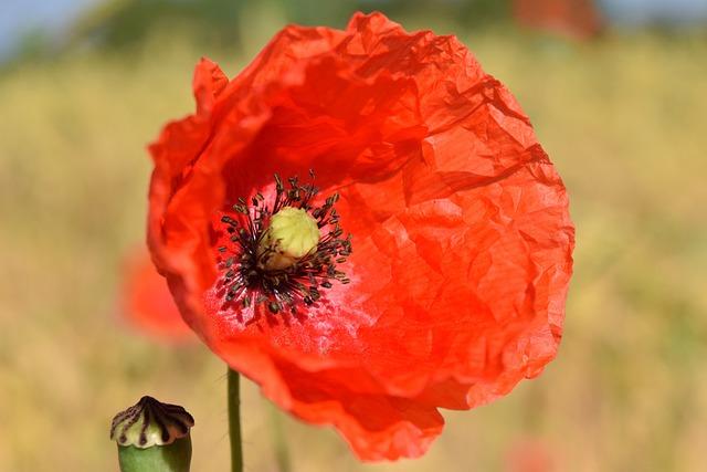 Poppy Flower, Red, Poppy, Klatschmohn, Flower, Macro