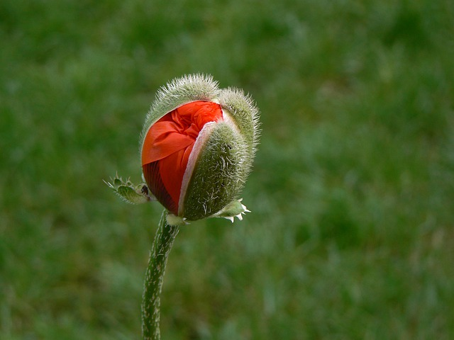 Poppy, Macro, Red, Poppy Flower, Flowers