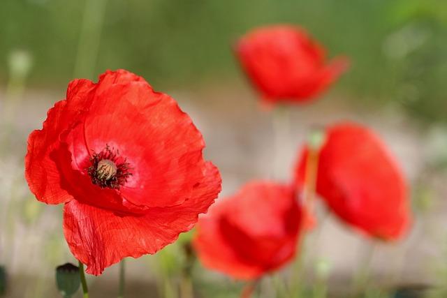 Poppy, Flower, Red, Nature, Fields, Spring, Flora