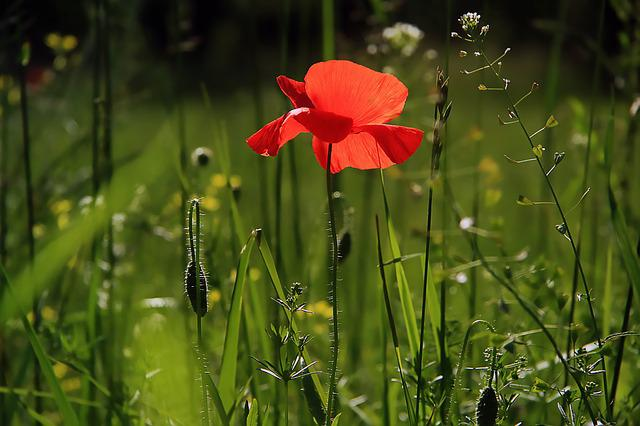 Poppy, Flower, Nature, Fields, Wild Flower