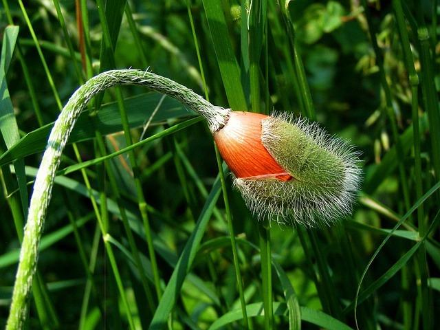 Poppy, Flower Buds, Summer, Flower, Orange