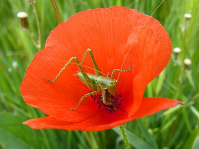 Green Grasshopper, Poppy, Small, Orthopteron, Tiny