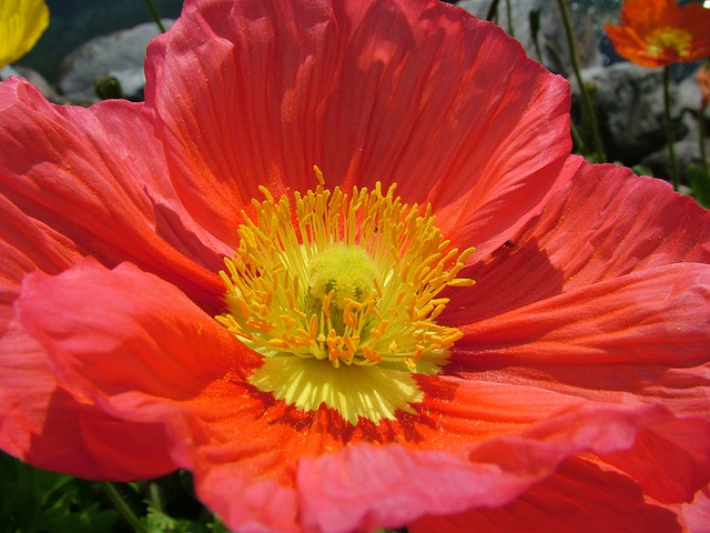 Iceland Poppy, Papaver Nudicaule, Poppy