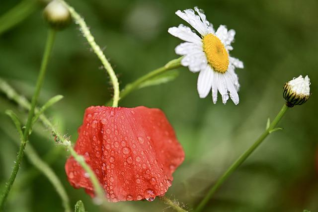Poppy, Daisy, Flower Meadow, Pointed Flower, Wet, Rain