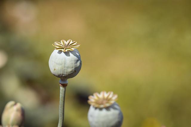 Poppy, Poppy Capsules, Mohngewaechs, Nature