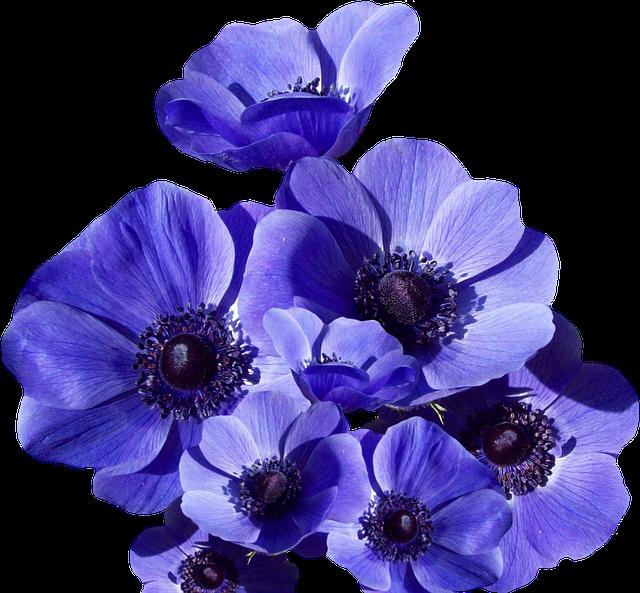 Poppy, Blossom, Bloom, Summer, Poppy Flower