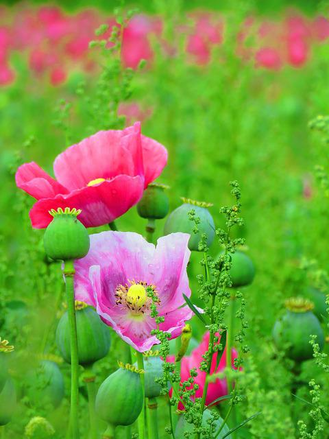 Poppy, Blossom, Bloom, Poppy Flower, Opium Poppy, Pink