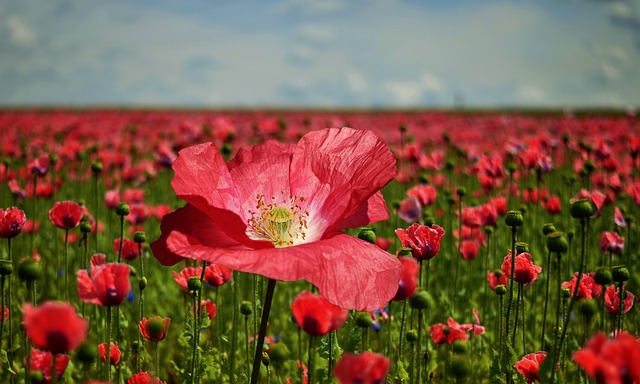 Poppy, Poppy Flower, Poppy Field, Nature, Blossom