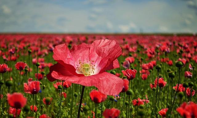 Poppy, Poppy Flower, Poppy Field, Nature, Blossom