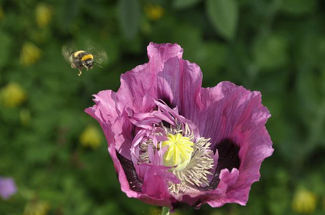 Bumblebee, Summer, Purple, Poppy, Fly
