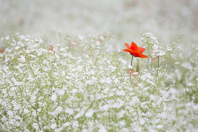 Poppy, Gypsophila Elegans, Red Color, White, Garden