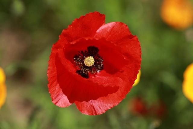 Flower, Poppy, Nature, Fleurs Des Champs, Red
